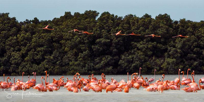 Flamingo colony in Celestun