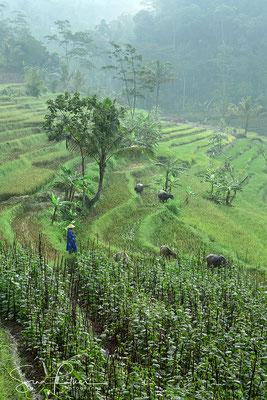 In the rice fields of Borobodur