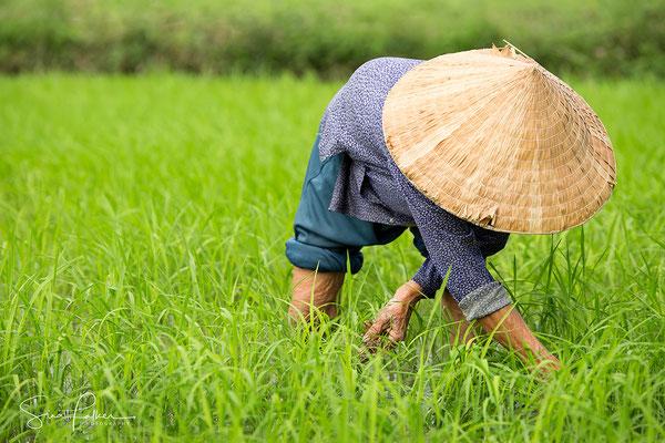 Vietnamese lady growing rice