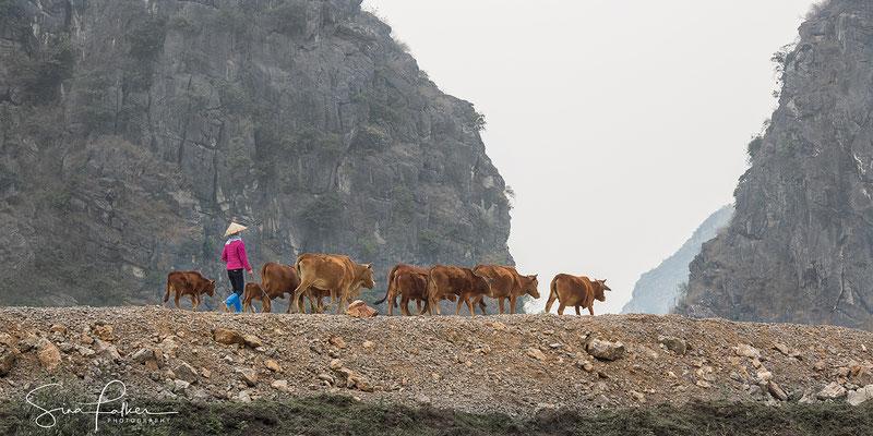 Cow herd in the valley of Hoa Binh
