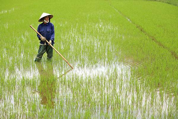 Rice cultivation in Hoi An