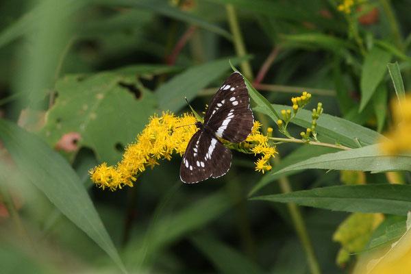 過去最黒の個体に遭遇し、ヤマキチョウ探索は中止し撮影に専念。 2010/8/8 長野県木曽郡