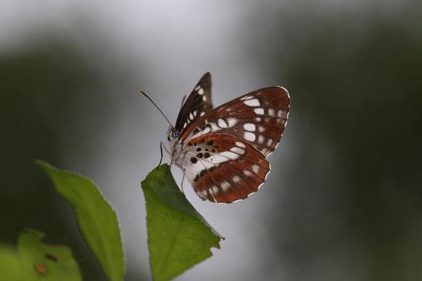 過去最黒の個体の翅裏。 2010/8/8 長野県木曽郡