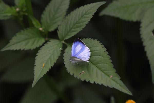 活動開始直前、開翅する♂。フェールメールを連想させるブルー。2015/10/24 三重県