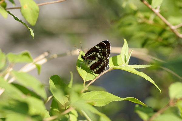 奈良県山間部の個体は黒いというが・・・ 2005/5/31 奈良県吉野郡