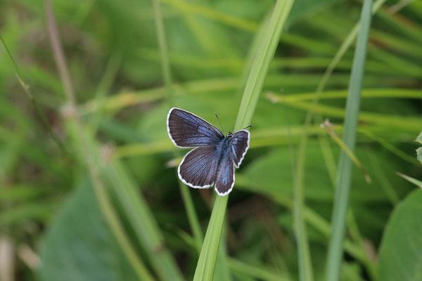 下草上で開翅する♂。エビラフジを食する個体群。この黒さが本来のアサマシジミ。2017/6/24 長野県
