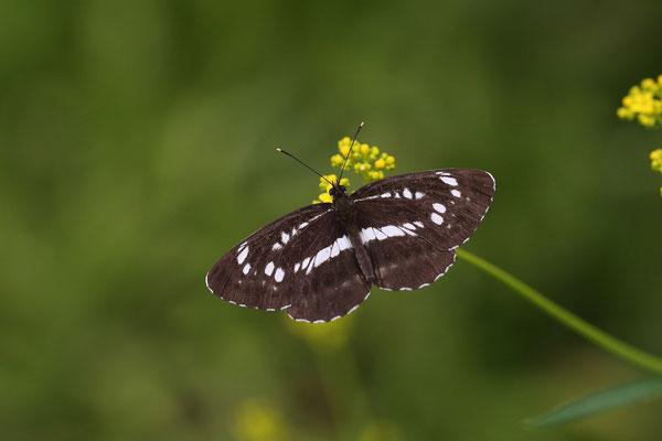 オミナエシで吸蜜する最黒の個体。 2010/8/8 長野県木曽郡