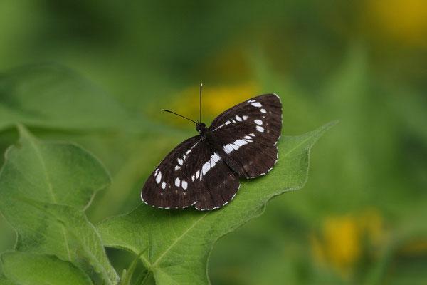 過去最黒の個体に遭遇し、ヤマキチョウ探索は中止。 2010/8/8 長野県木曽郡