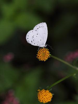 コセンダングサで吸蜜する♀。翅裏は本当に純白。2015/10/24 三重県