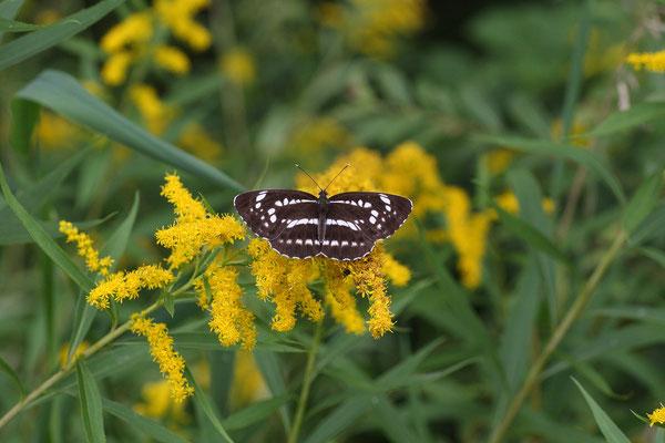 ヤマキチョウ探索途上に遭遇。翌2010年の最黒個体遭遇へのプロローグ。 2009/8/9 長野県木曽郡