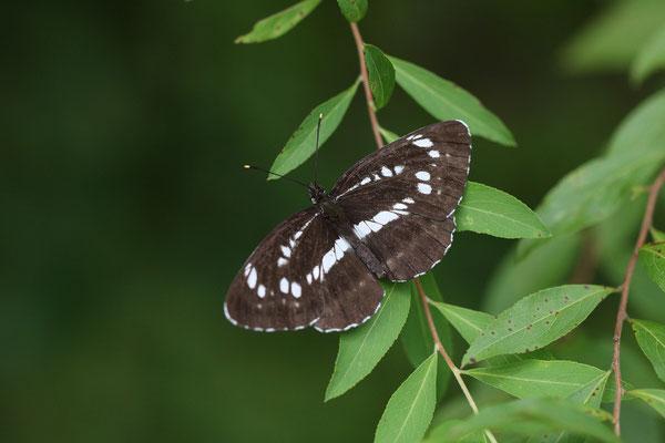 最黒の個体は発生木と推定されるコデマリに静止。 2010/8/8 長野県木曽郡