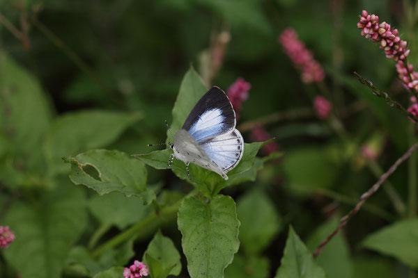 イヌタデの群落で開翅する♀。フェールメールを連想させるブルー。2015/10/24 三重県