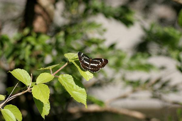 この日、最も黒かった個体。 2005/5/31 奈良県吉野郡
