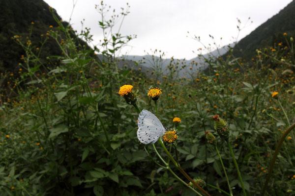 コセンダングサで吸蜜する♀。こういう広角写真だと青空が欲しいのだが。2015/10/24 三重県