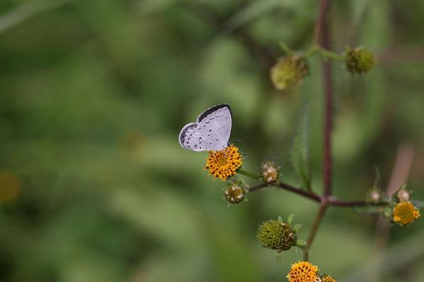 コセンダングサで吸蜜する♀。微妙に開翅するがこれ以上は開かない。2016/10/22 三重県