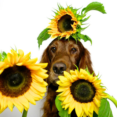 trendsetter irish setter resetter sunflower summer yellow gelb doglover lazy lässig cool sophisticated workingdog midcentury interior sessel weekend