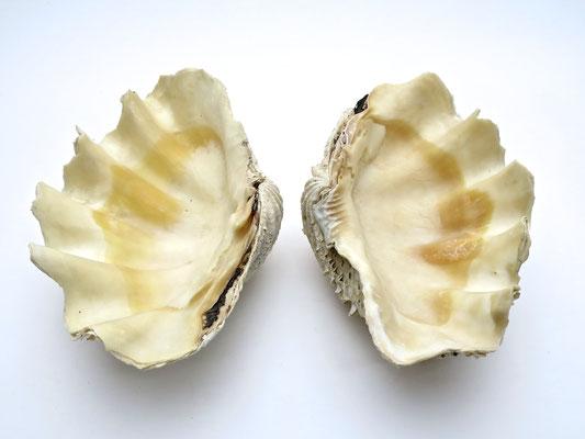muschel shell Sommer summer nature tridacna nature riesenmuschel  mördermuschel badezimmer bathroom nature sealife ocean
