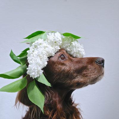 irish setter trendsetter flieder lilac gottheit apoll kaufmuseum geschenke hochzeitsgeschenke hunde hund workingdog