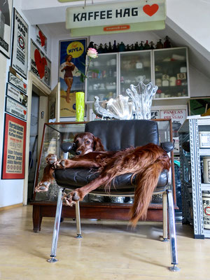 irischer setter irish sett trendsetter kaufmuseum working dog lazy fauler hund