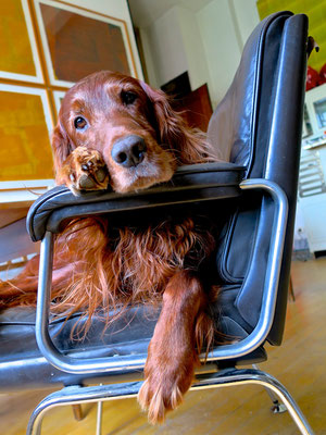 trendsetter irish setter redsetter huntingdog doglover lazy lässig cool sophisticated workingdog midcentury interior sessel weekend