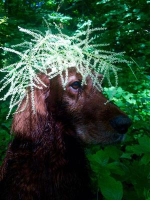 waldgeist irishsetter hunting dog jagdhund geißbart aruncis dioicus camouflage urbanjungle stadthunf isarauen englischer garten