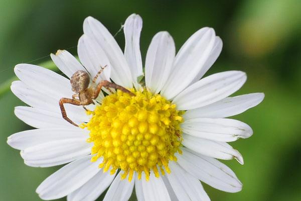 オオヤミイロカニグモ