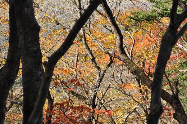 自然研究路東側の紅葉綺麗でした②