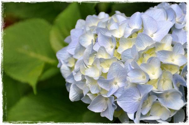 梅雨といえば、紫陽花!