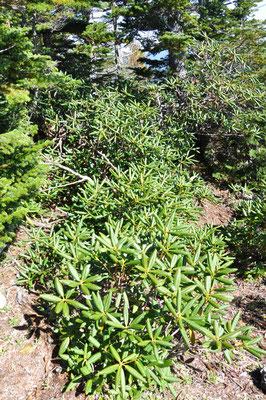 山頂はシャクナゲいっぱい。6月頃咲く時期にまたキタですね