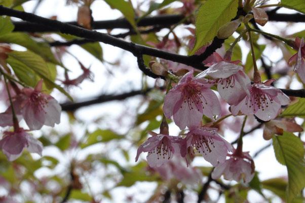 登山口付近の河津桜