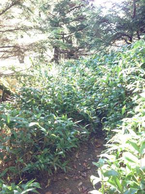 笹藪が結構あります。朝は朝露で濡れます
