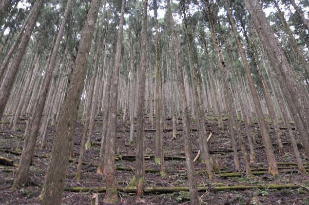 綺麗に杉の木並んでいます。