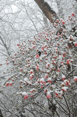 山ツツジもこの雪で寒そうです