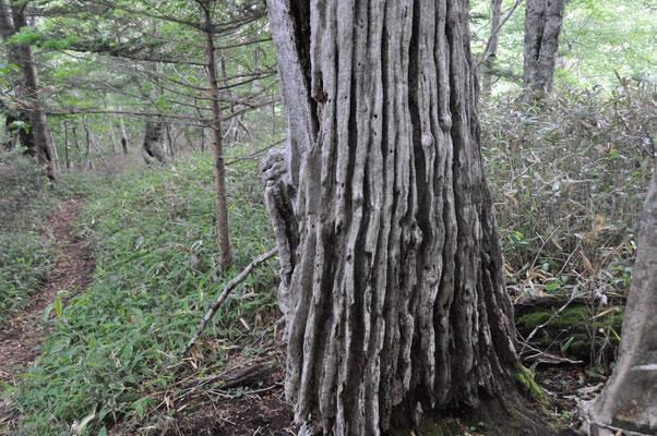 これはもはや枯れ木??