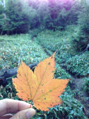こんな色づいた葉っぱがたくさん落ちています