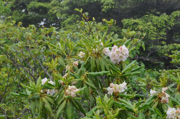 山頂の石楠花
