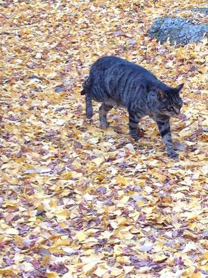 颯爽と銀杏のじゅうたんを歩くニャンコ