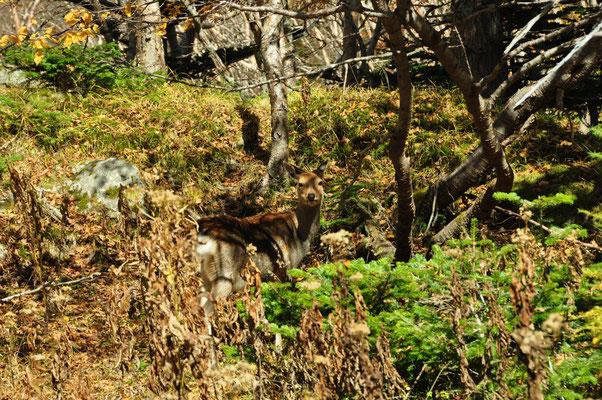 目の前に鹿です。逃げません