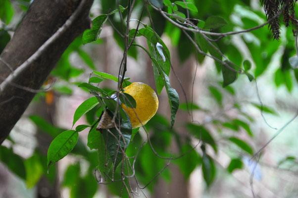 何の果物?