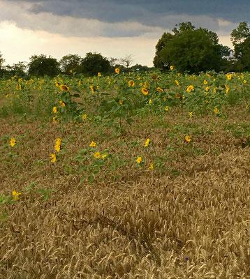 Die Sonnenblumen scheinen bei Gewitterwolken