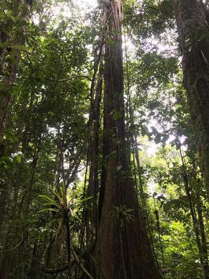 Baum mit der Liane Banisteriopsiscaapi