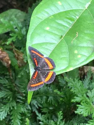 Dschungel- Schmetterling