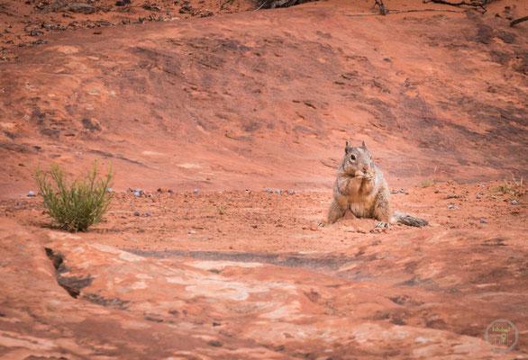 auch Tiere gibt es einige im Snow Canyon State Park