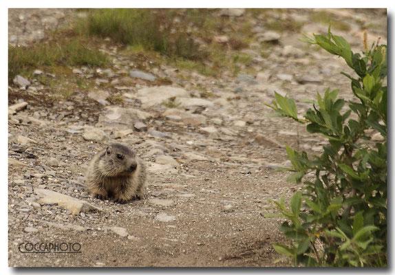 Marmotta, Passo Maniva