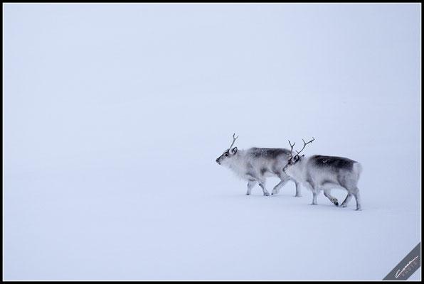 Renne - Svalbard Island
