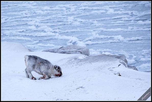 Renna - Svalbard Island