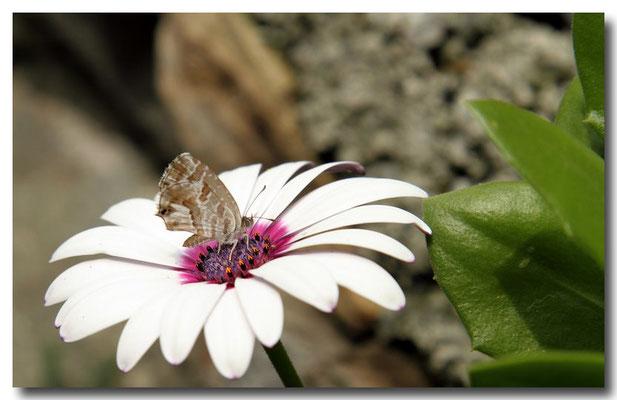 Cacyreus marshalli exMelitea