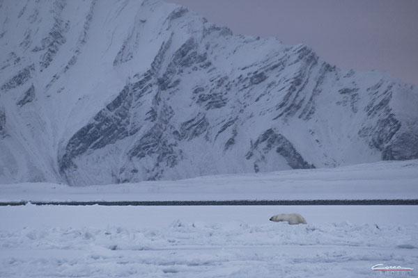 Orso Polare - Svalbard Island