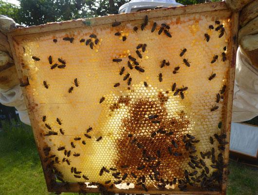 Futterwabe mir verdeckeltem Honig