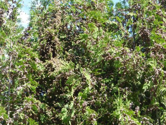 Im Gewirr der Zweige sind die Bienen kaum zu finden